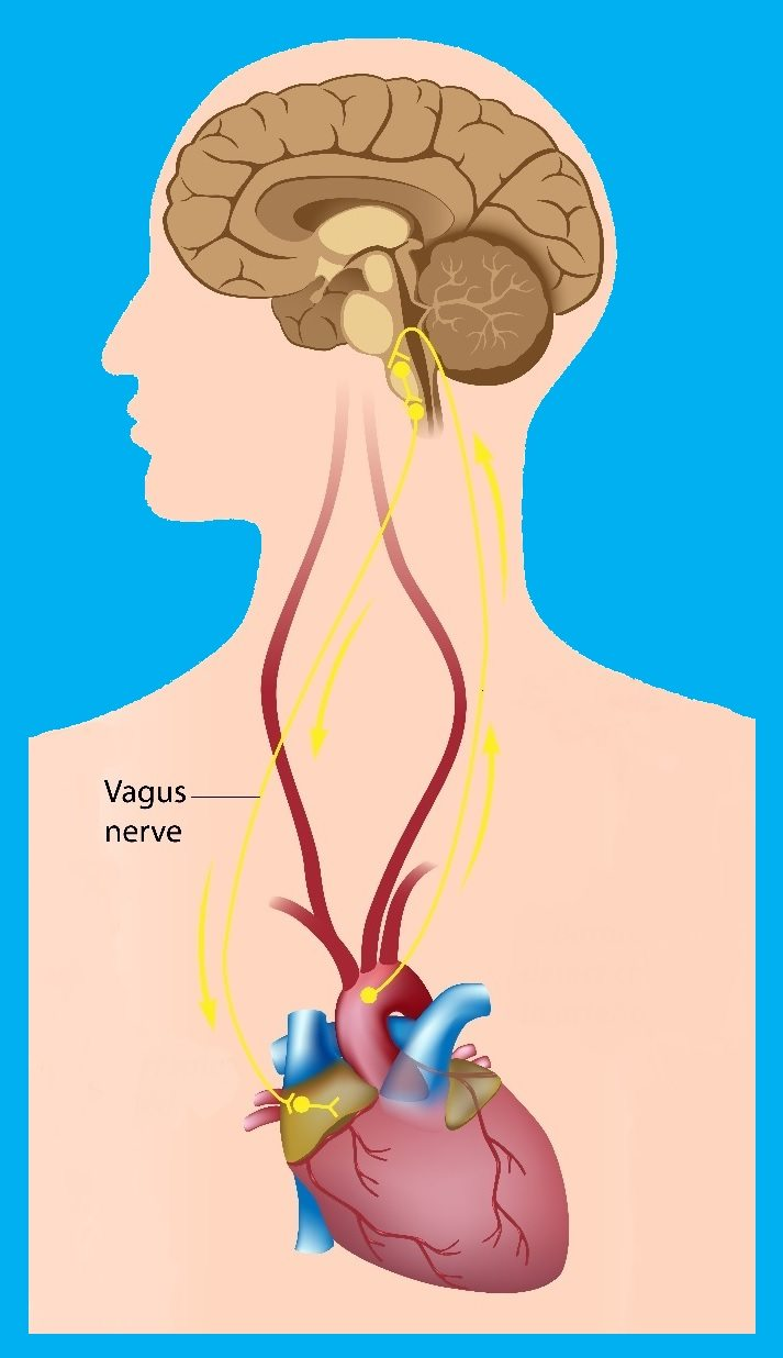 Vagus Nerve, Immune System and Inflammation